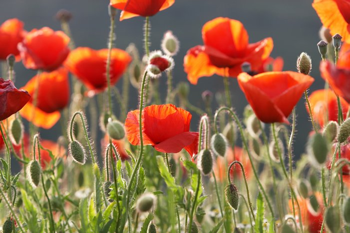 Class A Drugs Laws Poppies